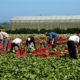 bulk food suppliers for restaurants picking romaine lettuce